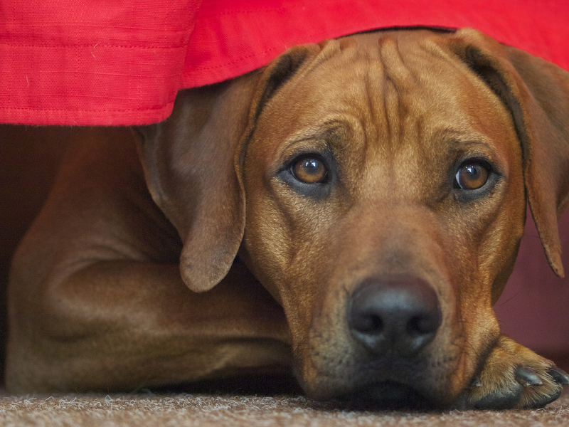Dog under the bed