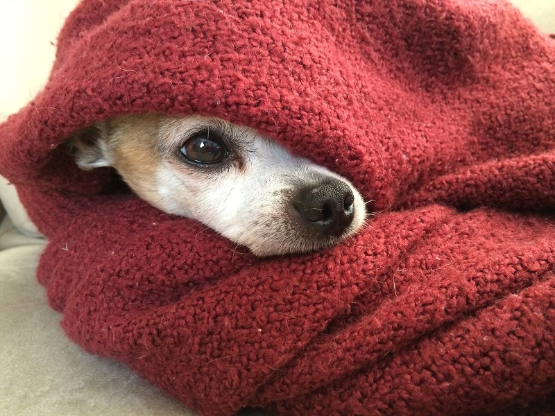 Chihuahua covered in blankets